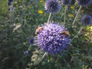 Bienen auf Distel