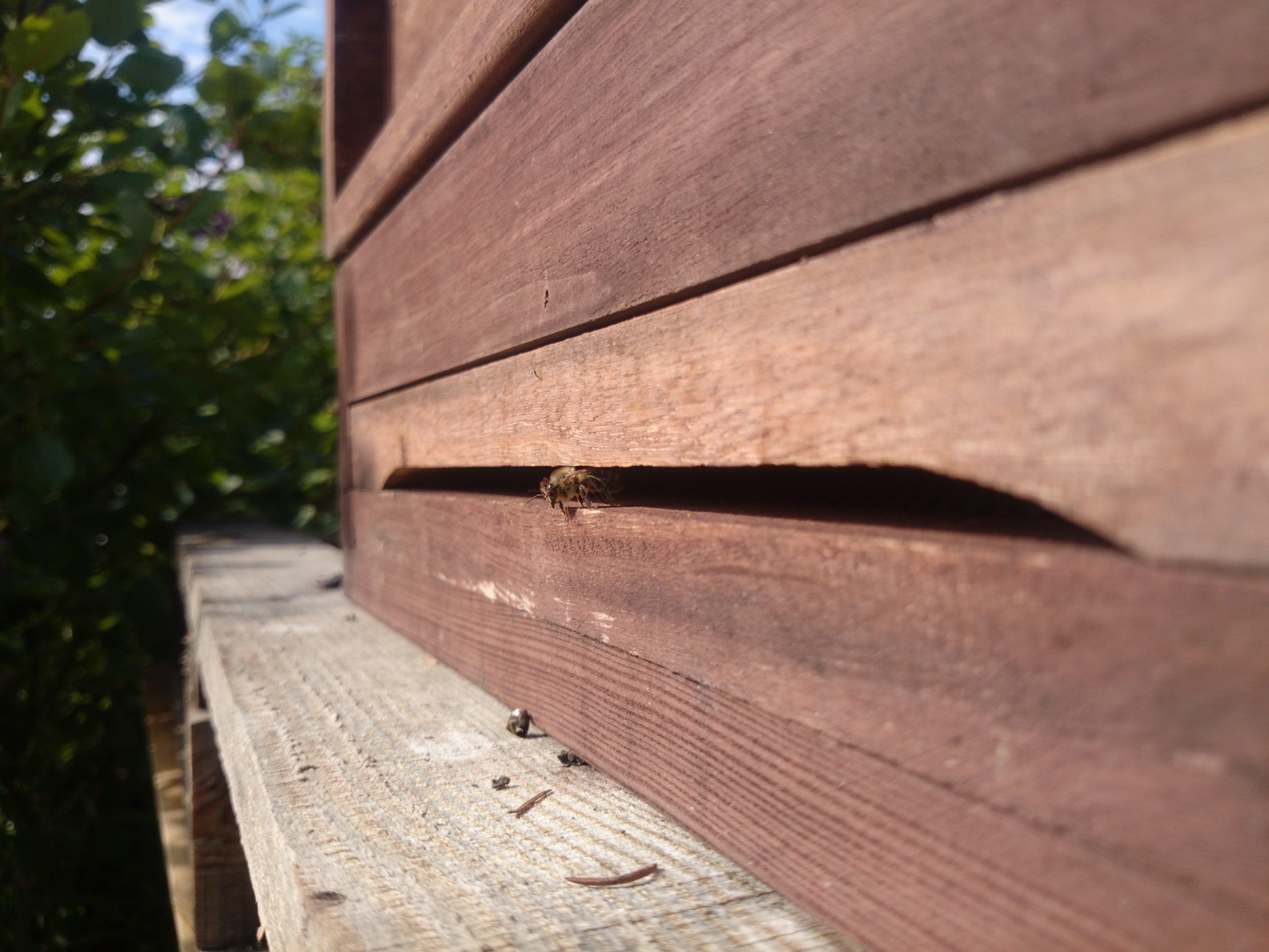 Bienen-Bilder Ausgabe 1